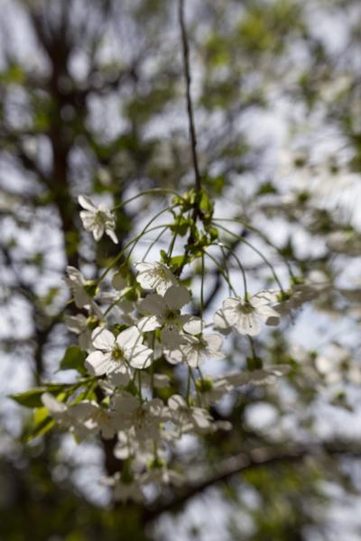 вишня во дворе